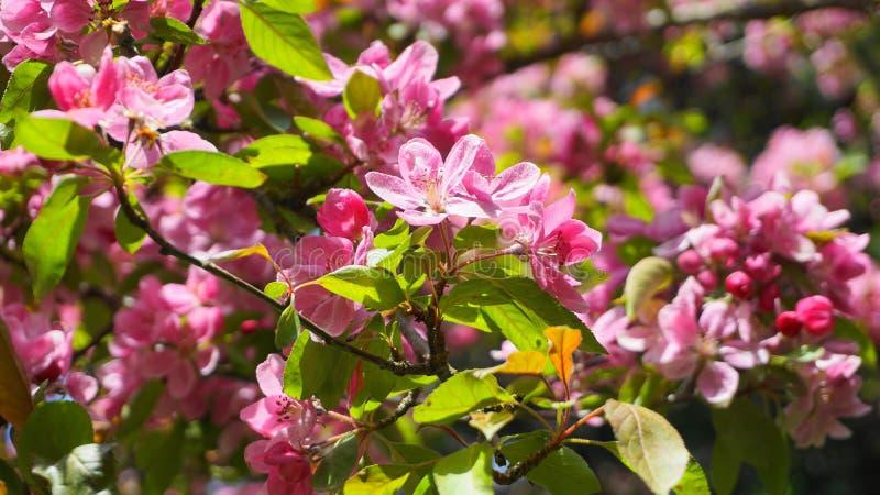 ?rbol de Crabapple de los derechos del Malus con las flores en el cierre del sol de la ma?ana para arriba Flor de Apple fotos de archivo