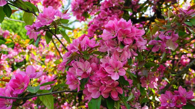 ?rbol de Crabapple de los derechos del Malus con las flores en el cierre del sol de la ma?ana para arriba Flor de Apple foto de archivo