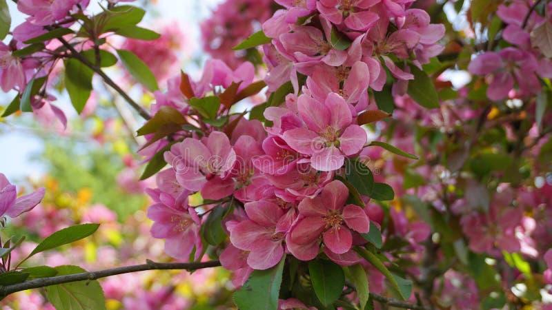 ?rbol de Crabapple de los derechos del Malus con las flores en el cierre del sol de la ma?ana para arriba Flor de Apple imagen de archivo libre de regalías