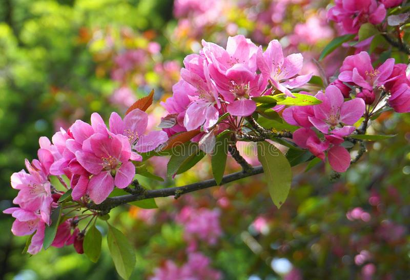 ?rbol de Crabapple de los derechos del Malus con las flores en el cierre del sol de la ma?ana para arriba Flor de Apple imagen de archivo
