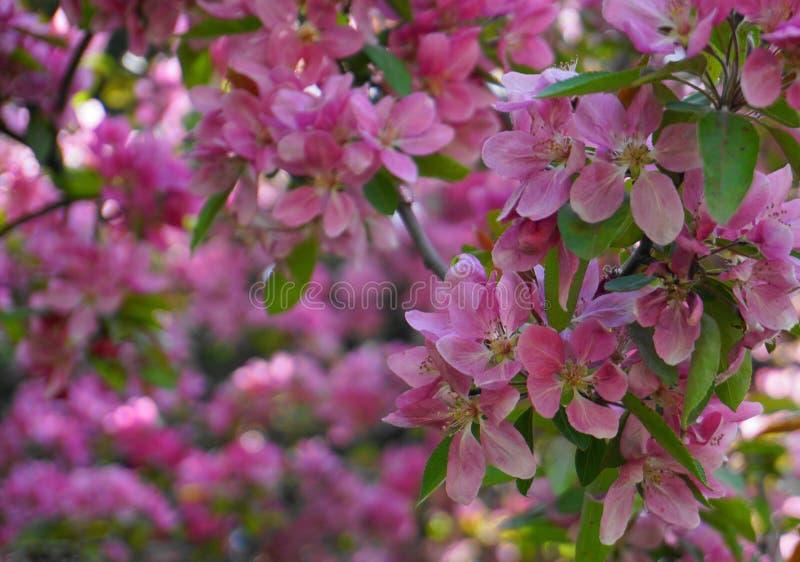 ?rbol de Crabapple de los derechos del Malus con las flores en el cierre del sol de la ma?ana para arriba Flor de Apple imagenes de archivo