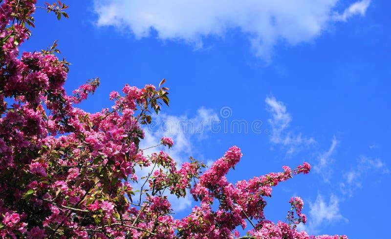 ?rbol de Crabapple de los derechos del Malus con las flores llamativas y brillantes contra fondo del cielo azul Flor de Apple fotografía de archivo