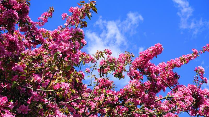 ?rbol de Crabapple de los derechos del Malus con las flores llamativas y brillantes contra fondo del cielo azul Flor de Apple imagen de archivo libre de regalías
