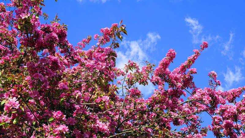 ?rbol de Crabapple de los derechos del Malus con las flores llamativas y brillantes contra fondo del cielo azul Flor de Apple foto de archivo