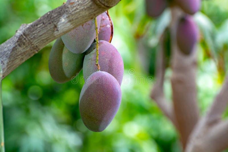 ?rbol de mango tropical con el crecimiento de frutas maduro grande del mango en huerta en la isla de Gran Canaria, Espa?a Cultivo fotografía de archivo