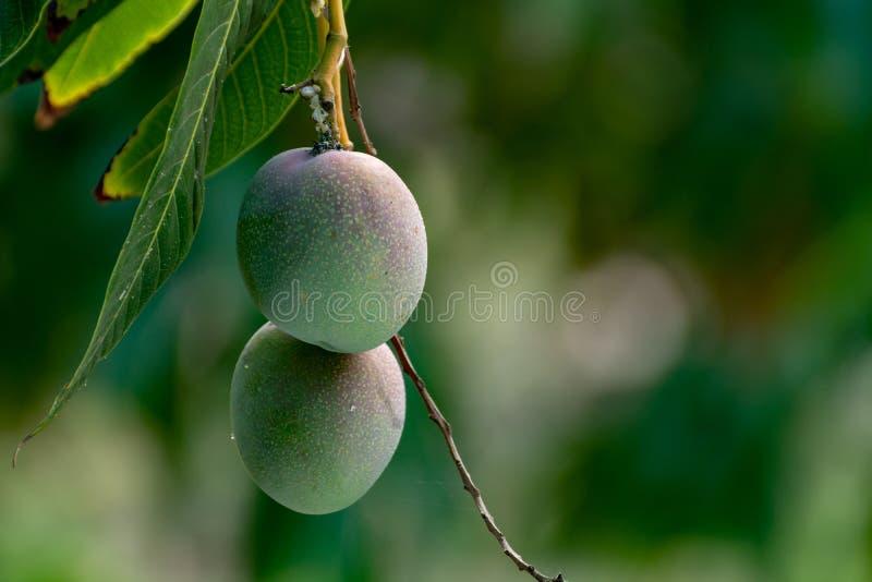 ?rbol de mango tropical con el crecimiento de frutas maduro grande del mango en huerta en la isla de Gran Canaria, Espa?a Cultivo fotografía de archivo libre de regalías