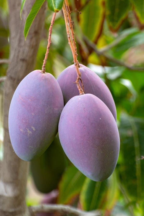 ?rbol de mango tropical con el crecimiento de frutas maduro grande del mango en huerta en la isla de Gran Canaria, Espa?a Cultivo fotos de archivo libres de regalías