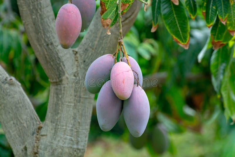?rbol de mango tropical con el crecimiento de frutas maduro grande del mango en huerta en la isla de Gran Canaria, Espa?a Cultivo foto de archivo