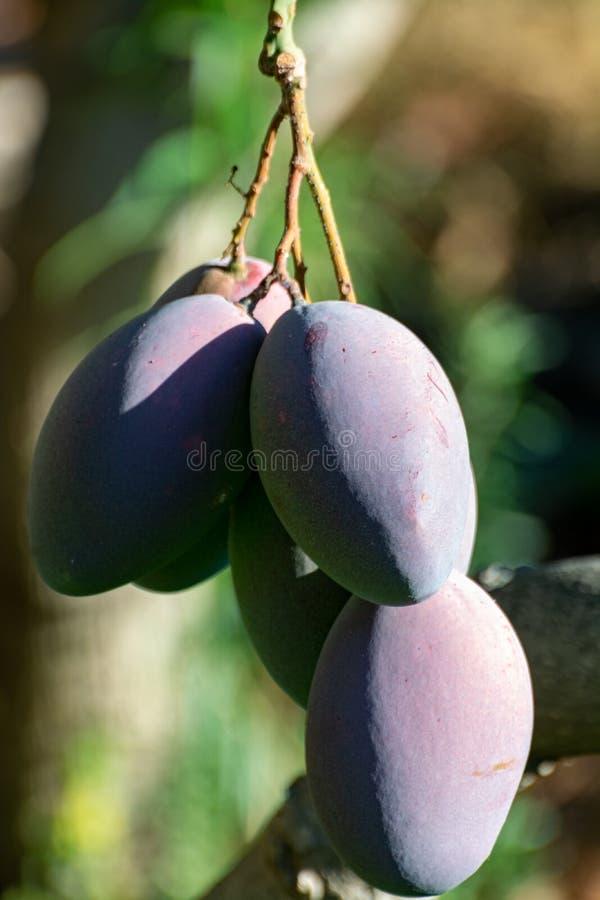 ?rbol de mango tropical con el crecimiento de frutas maduro grande del mango en huerta en la isla de Gran Canaria, Espa?a Cultivo imagen de archivo