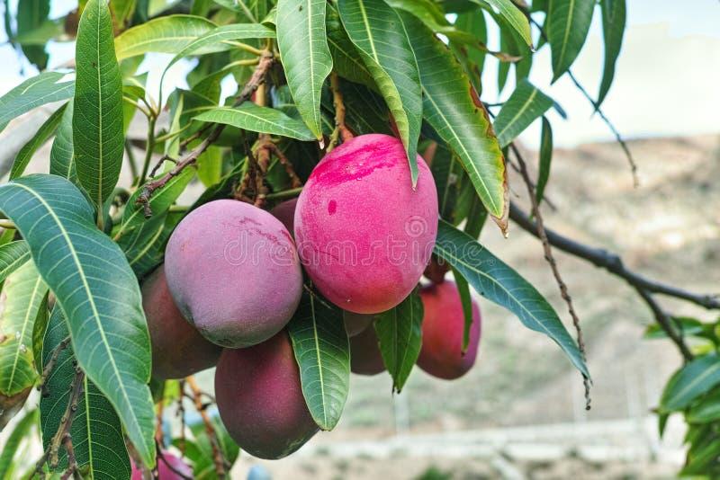 ?rbol de mango tropical con el crecimiento de frutas maduro grande del mango en huerta en la isla de Gran Canaria, Espa?a Cultivo foto de archivo libre de regalías