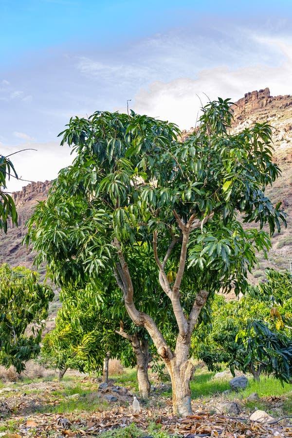 ?rbol de mango tropical que crece en huerta en la isla de Gran Canaria, Espa?a Cultivo de las frutas del mango en la plantaci?n imágenes de archivo libres de regalías