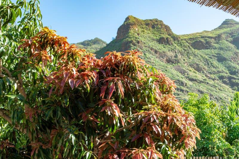 ?rbol de mango tropical que crece en huerta en la isla de Gran Canaria, Espa?a Cultivo de las frutas del mango en la plantaci?n imagenes de archivo