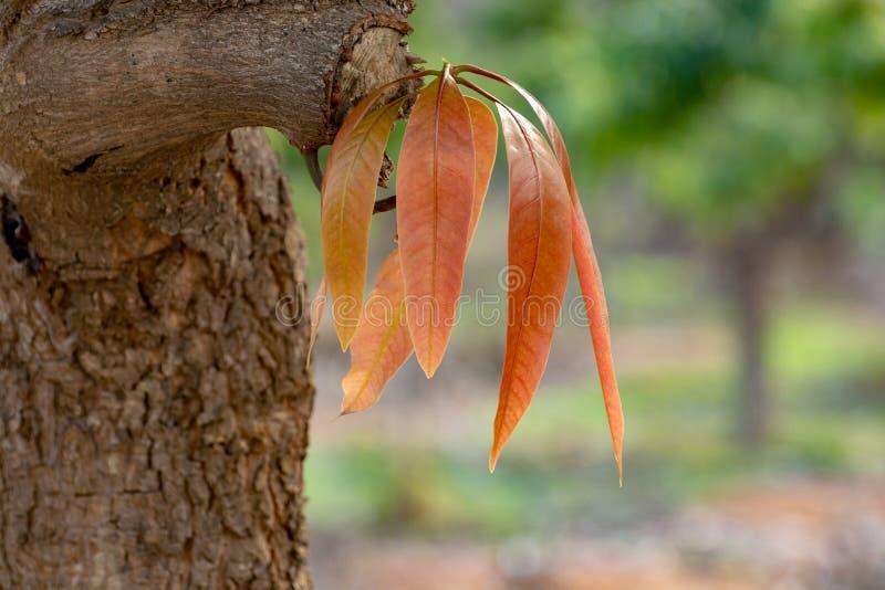 ?rbol de mango tropical que crece en huerta en la isla de Gran Canaria, Espa?a Cultivo de las frutas del mango en la plantaci?n fotos de archivo