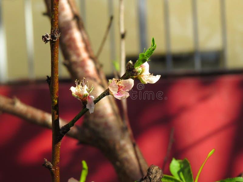 ?rbol de melocot?n con las flores rosadas del melocot?n fotografía de archivo