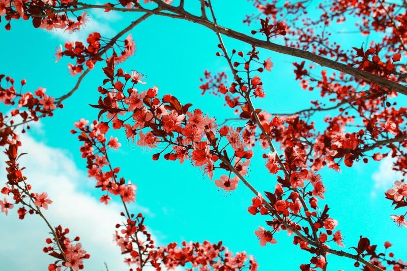 ?rbol de melocot?n floreciente de las flores rosadas en la primavera Cielo azul brillante como fondo imágenes de archivo libres de regalías