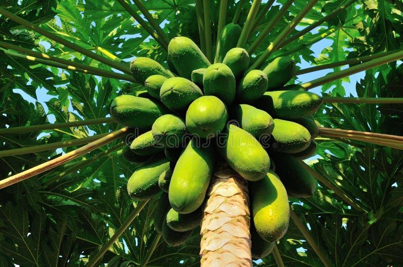 ?rbol de papaya fotografía de archivo libre de regalías