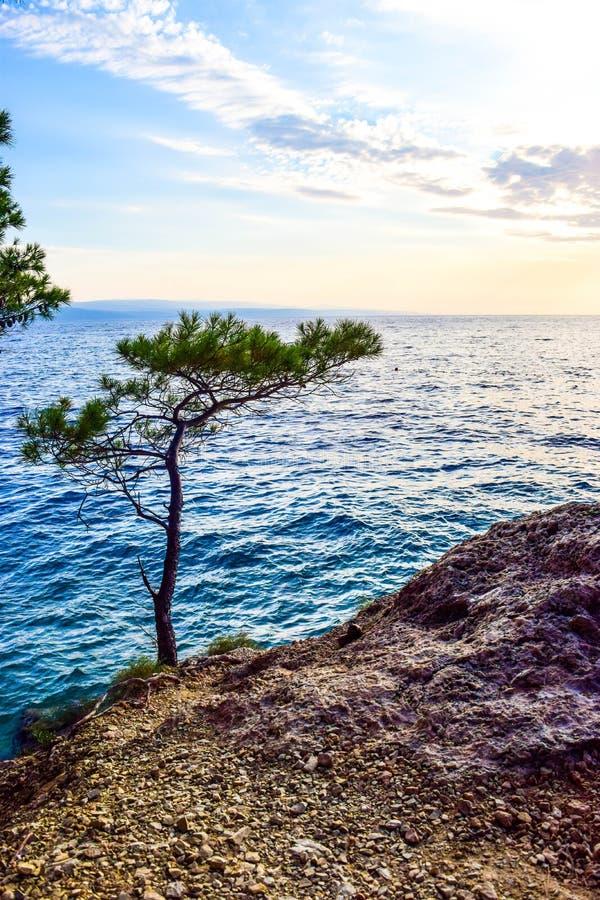 ?rbol de pino en una roca imagen de archivo libre de regalías