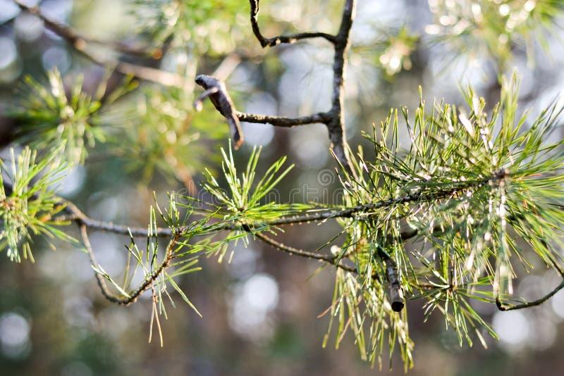 ?rbol de pino verde de la aguja Peque?os conos del pino en el extremo de ramas Agujas borrosas del pino en fondo imágenes de archivo libres de regalías