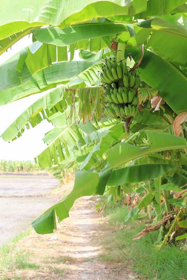 Download ?rbol De Pl?tano Con Un Manojo De Pl?tanos Foto de archivo - Imagen de ramificación, planta: 41921138