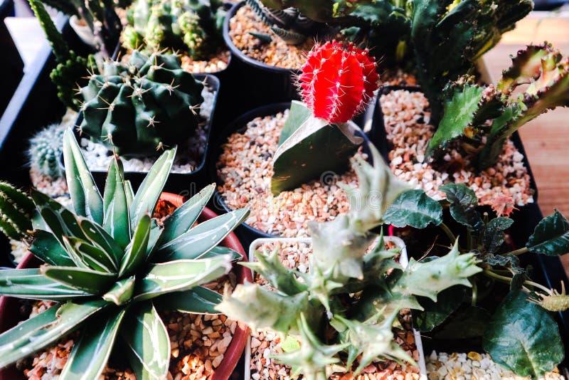 ?rbol hermoso del cactus en los jardines al aire libre y los parques p?blicos fotos de archivo libres de regalías