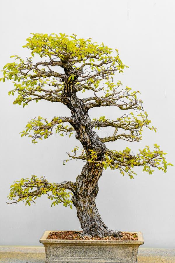 ?rbol japon?s de los bonsais en crisol imágenes de archivo libres de regalías