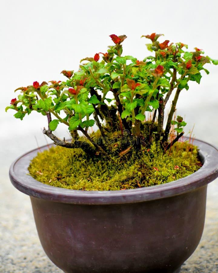 ?rbol japon?s de los bonsais en crisol fotos de archivo libres de regalías