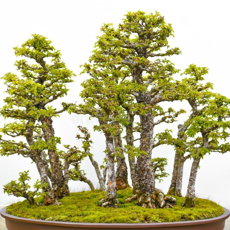 ?rbol japon?s de los bonsais en crisol imagen de archivo libre de regalías