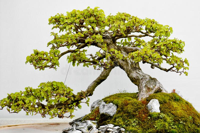 ?rbol japon?s de los bonsais en crisol imagen de archivo