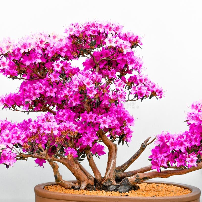 ?rbol japon?s de los bonsais en crisol fotografía de archivo libre de regalías