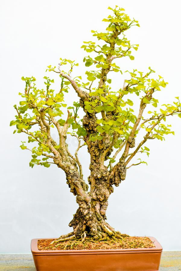?rbol japon?s de los bonsais en crisol foto de archivo