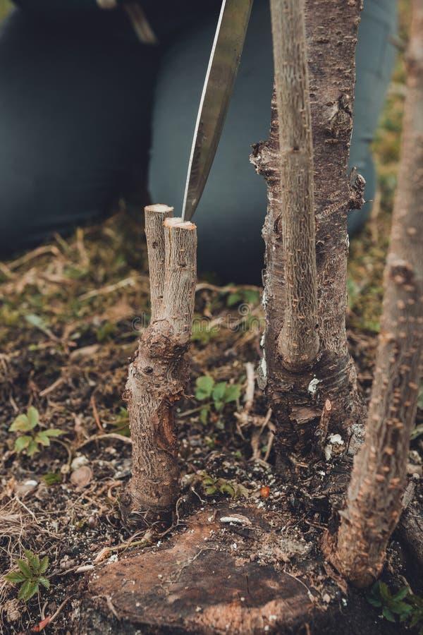 ?rbol joven del corte del jardinero para injertar del ?rbol frutal joven en toc?n fresco fotografía de archivo