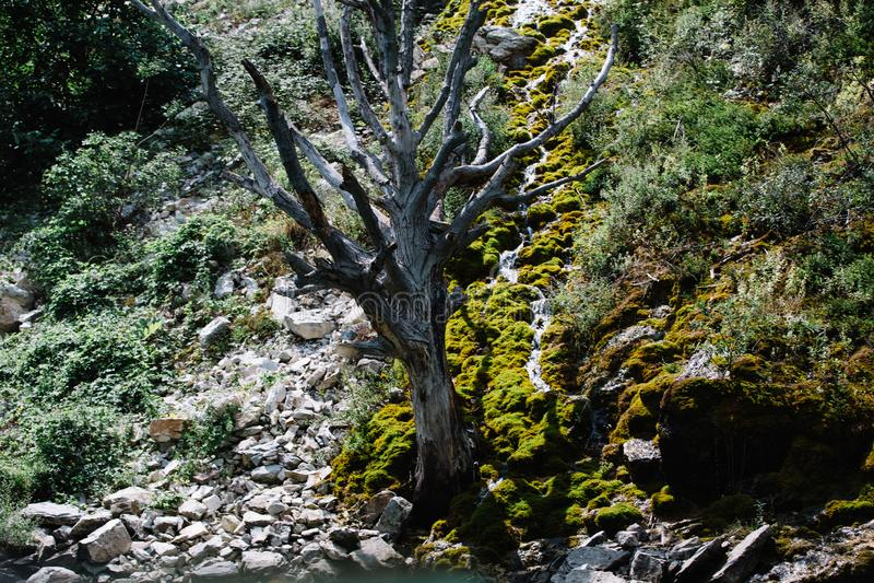 ?rbol secado en una monta?a cubierta con el musgo Barranco de Sulak, Daguest?n fotos de archivo