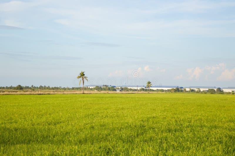 ?rbol verde del arroz en el pa?s, Chachoengsao, Tailandia imagenes de archivo