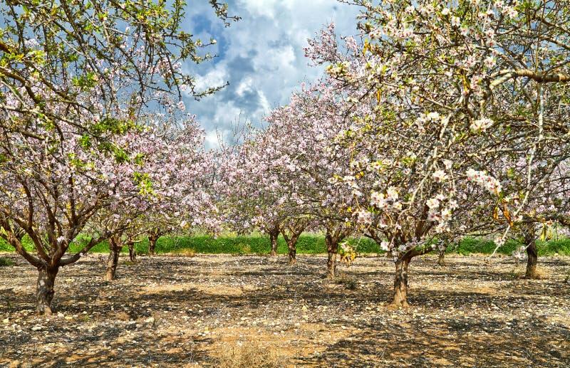 ?rboles de almendra de florecimiento en el campo foto de archivo