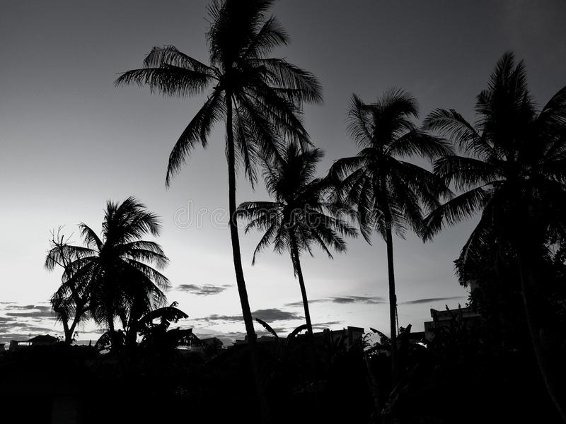?rboles de coco de la silueta durante puesta del sol Concepto blanco y negro foto de archivo