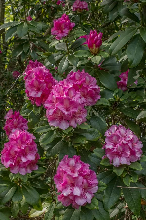 ?rboles de florecimiento hermosos de Rhodedendron en un parque escoc?s al inicio de la primavera foto de archivo libre de regalías
