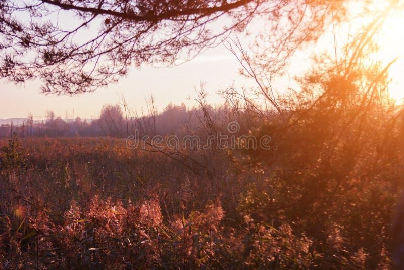 ?rboles de la puesta del sol y de pino Luz del sol a través de hierbas salvajes Colores amarillos, rojos, verdes en luz del sol imagen de archivo