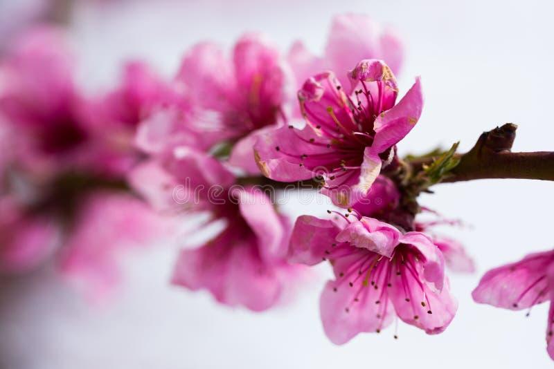 ?rboles de melocot?n florecientes en primavera fotos de archivo