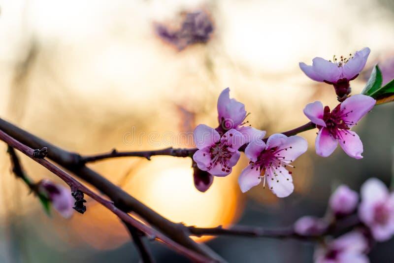 ?rboles de melocot?n florecientes hermosos en primavera en un d?a soleado foco suave, falta de definici?n natural foto de archivo