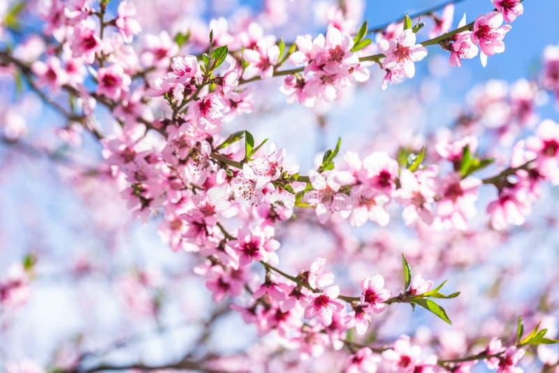 ?rboles de melocot?n florecientes hermosos en primavera en un d?a soleado foco suave, falta de definici?n natural imagen de archivo libre de regalías