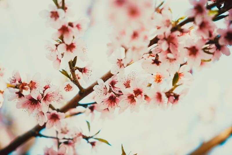 ?rboles de melocot?n florecientes hermosos en primavera en un d?a soleado foco suave, falta de definici?n natural fotografía de archivo