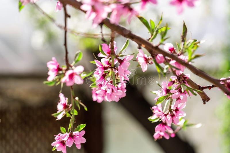 ?rboles de melocot?n florecientes hermosos en primavera en un d?a soleado foco suave, falta de definici?n natural fotografía de archivo libre de regalías