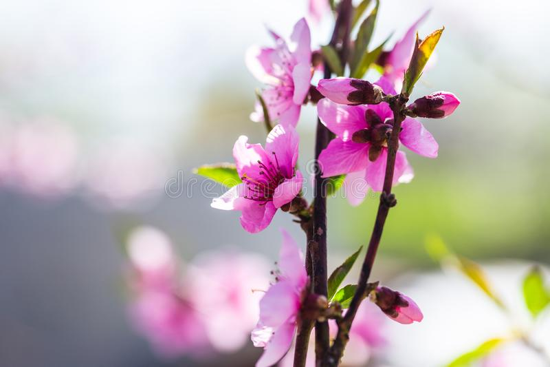 ?rboles de melocot?n florecientes hermosos en primavera en un d?a soleado foco suave, falta de definici?n natural foto de archivo libre de regalías