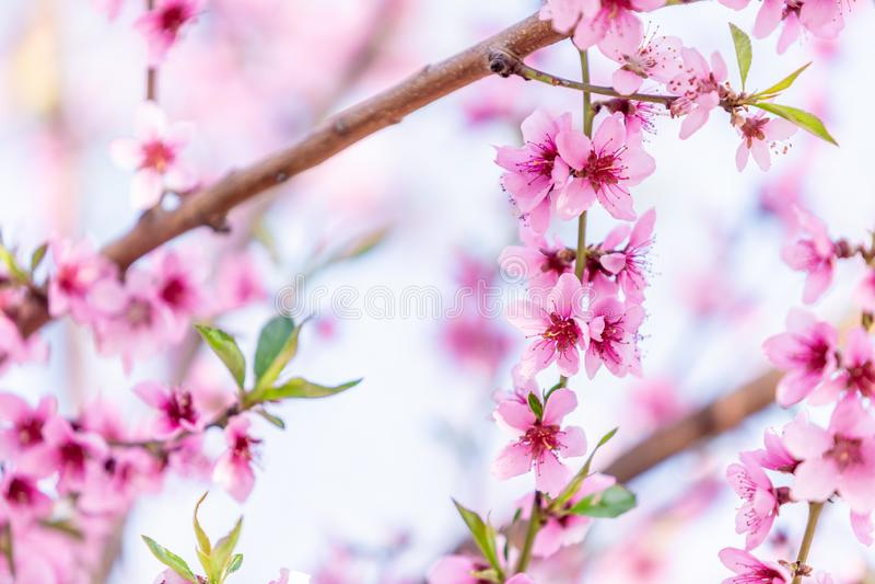 ?rboles de melocot?n florecientes hermosos en primavera en un d?a soleado foco suave, falta de definici?n natural fotos de archivo libres de regalías