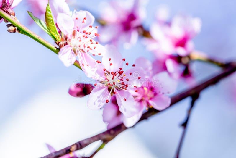 ?rboles de melocot?n florecientes hermosos en primavera en un d?a soleado foco suave, falta de definici?n natural fotos de archivo