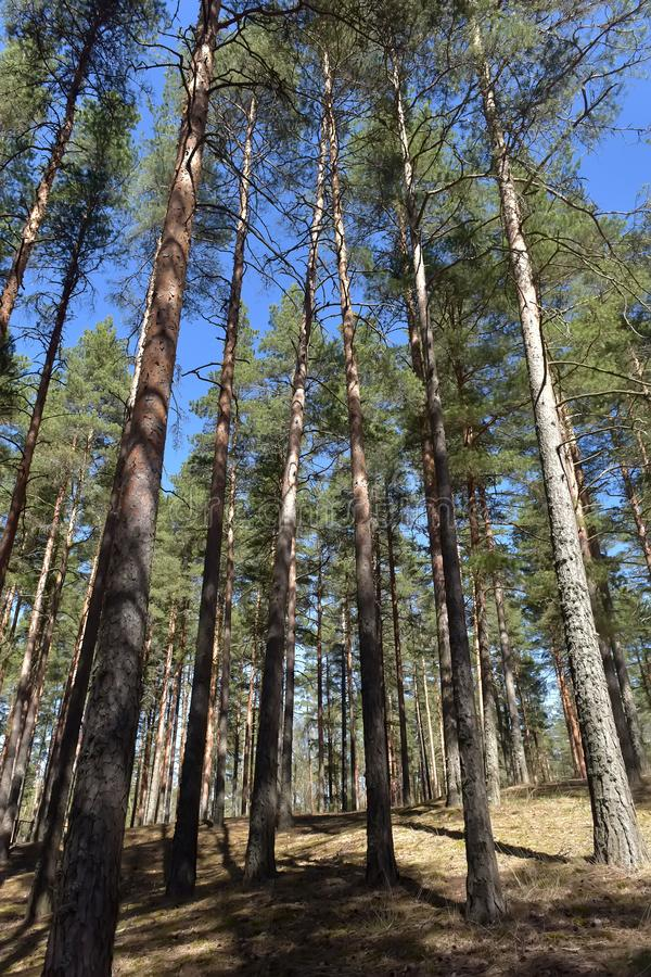 ?rboles de pino altos en el bosque fotos de archivo libres de regalías