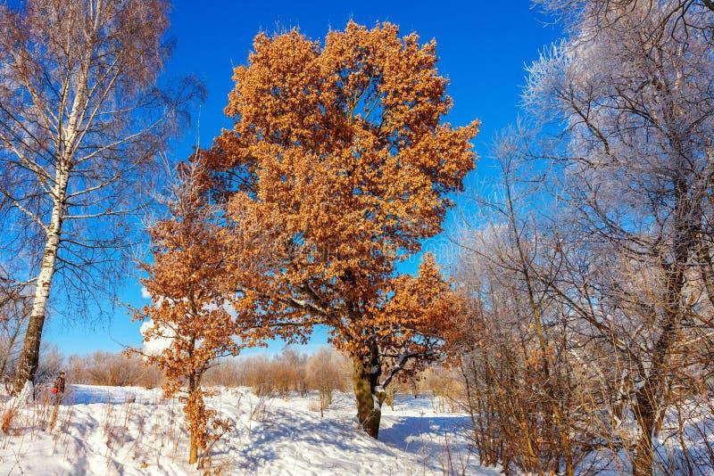 ?rboles escarchados en el bosque nevoso, tiempo fr?o por ma?ana soleada fotos de archivo