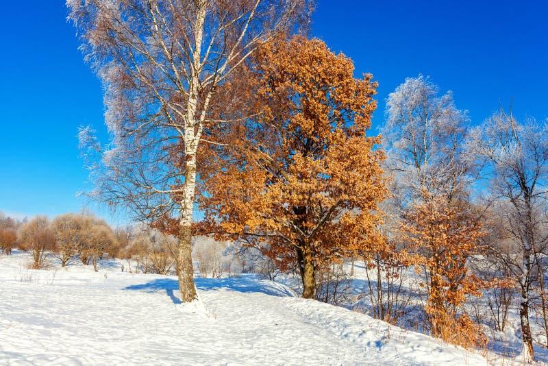 ?rboles escarchados en el bosque nevoso, tiempo fr?o por ma?ana soleada foto de archivo