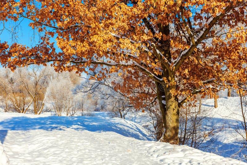 ?rboles escarchados en el bosque nevoso, tiempo fr?o por ma?ana soleada imágenes de archivo libres de regalías