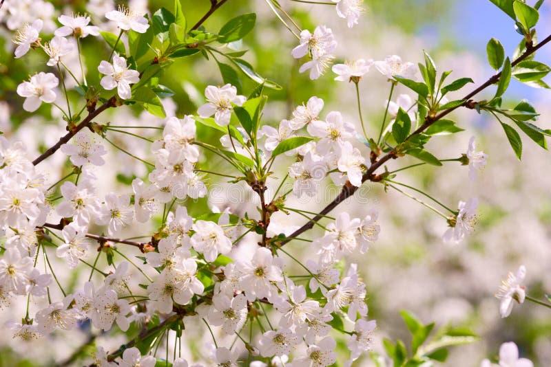 ?rboles frutales de florecimiento, primavera, flores de la manzana y cereza, jard?n bot?nico fotografía de archivo libre de regalías